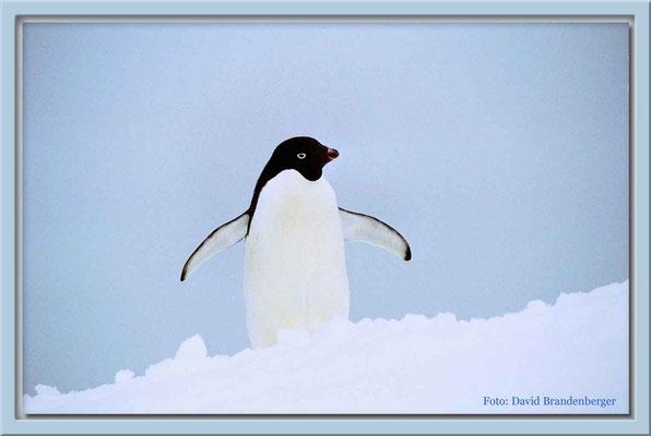 104.Adeliepinguin auf Eisberg,Antarktis