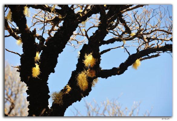 NZ0493.Kahurangi N.P.Tree with lichens