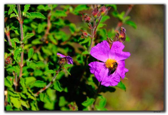 TR0487.Demirören.Blume mit Biene