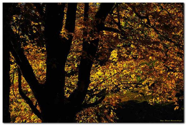 A0719.Herbstbaum.Grindelwald.CH