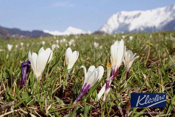 P0004.Krokus in Klosters.CH