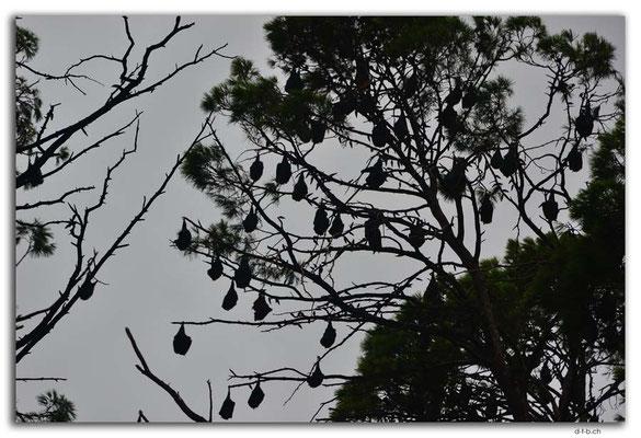 AU1110.Adelaide.Bot.Garden.Flying Fox