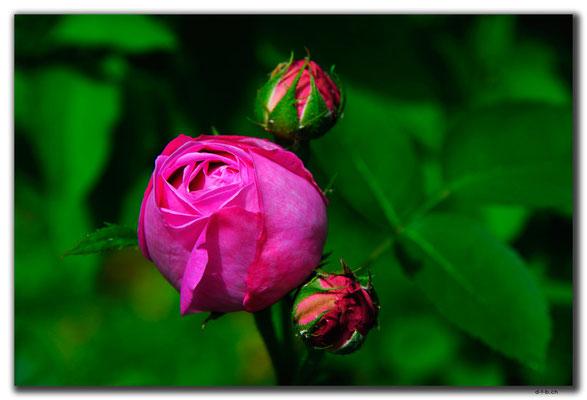TR0523.Lefkosa.Rose