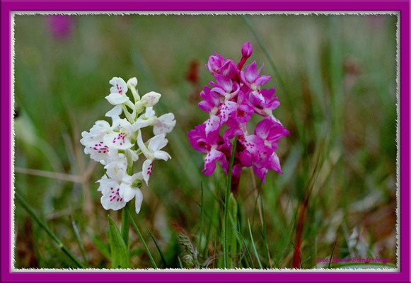 A0154.Adam&Eva Orchidee.Gotland.SE
