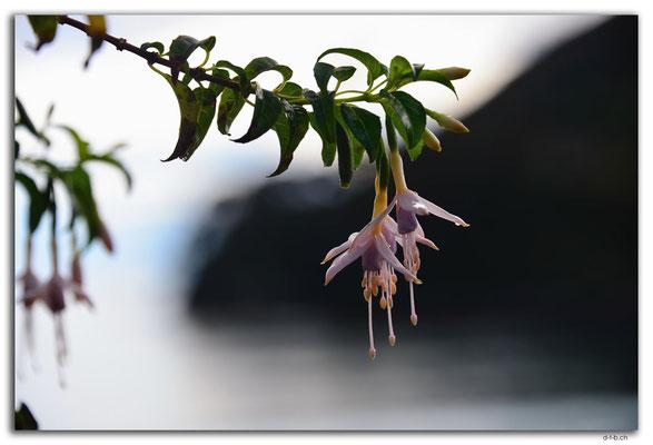 NZ0856.Stewart Island.Oban.Horseshoe Bay.Flower