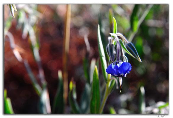 AU00156.Blume