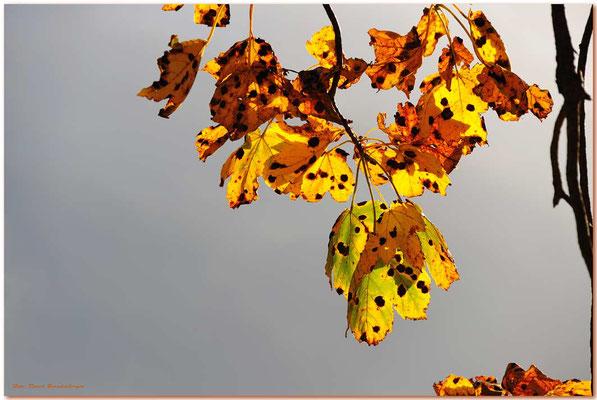 A0712.Herbstblätter.Grindelwald.CH