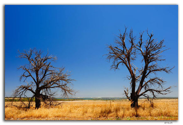 AU1012.Eyre Peninsula.Bäume