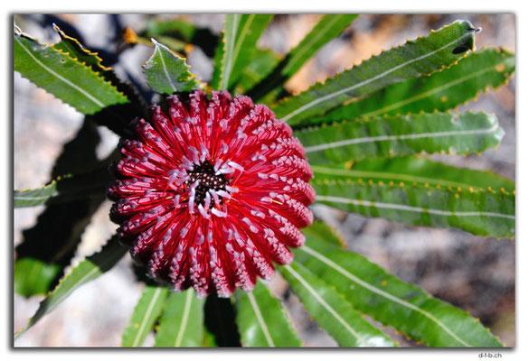 AU0549.Banksia