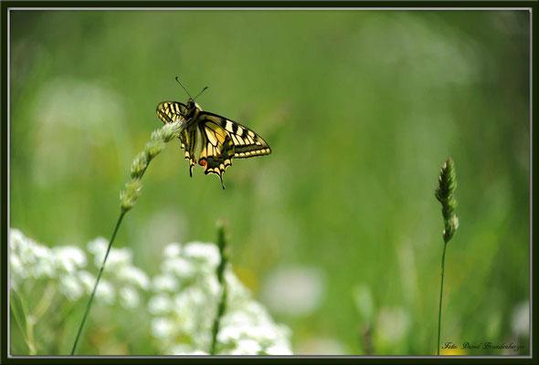 A0369.Schmetterling.Fanas.CH