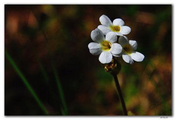 NZ0521.Kahurangi N.P.Flower in the Sphinx Valley