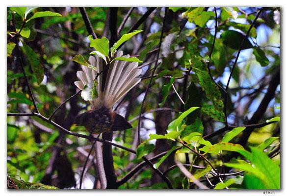 NZ0600.Milnthorpe Park.Fantail