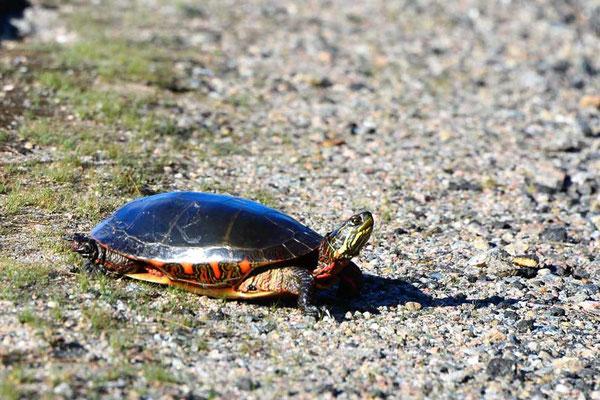 CA0494 Algonquin Park Western Painted Turtle