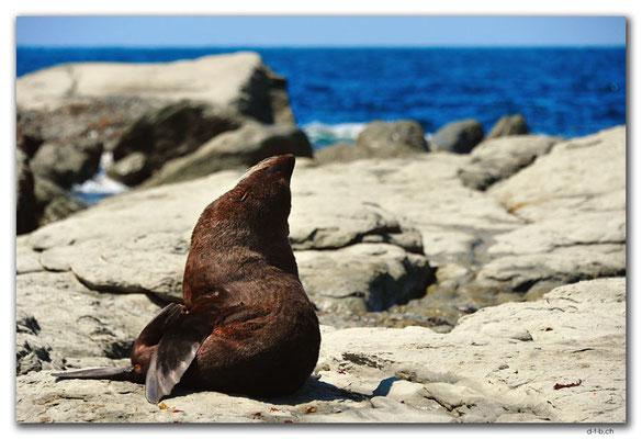 NZ0702.Kaikoura.Peninsula.Seal