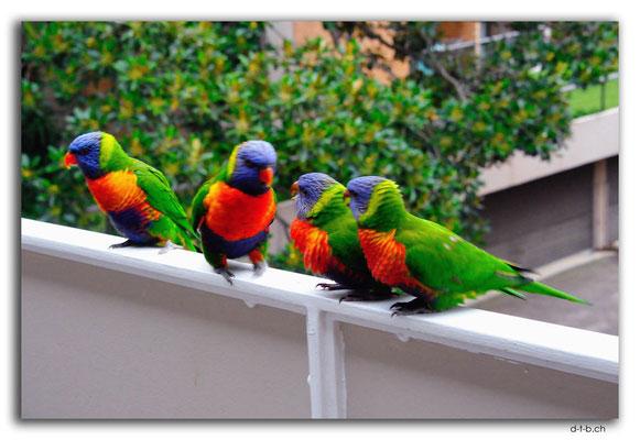 AU1537.Sydney.Rainbow Lorikeet