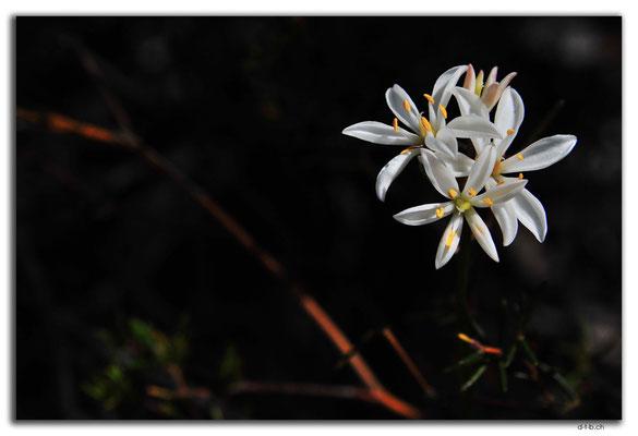 AU0520.Blume