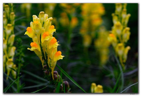 SK018.Orchidee am Wegrand