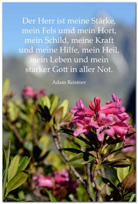 S0212.Alpenrose.Klosters.CH. Text: Adam Reistner
