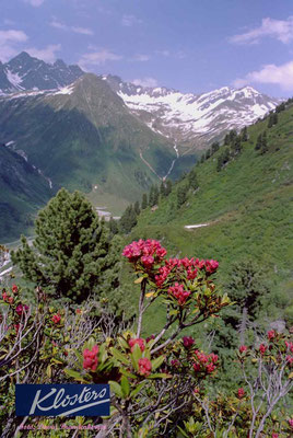 P0012.Alpenrose,Roggental,Klosters.CH
