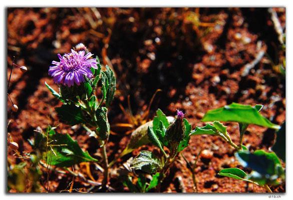 AU0403.Blume