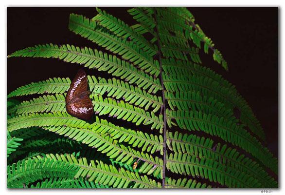 ID0135.Ubud.ARMA.Schmetterling