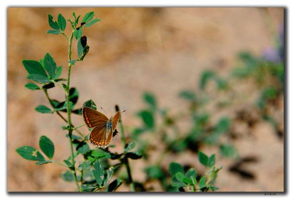 IR0106.Semirom.Schmetterling