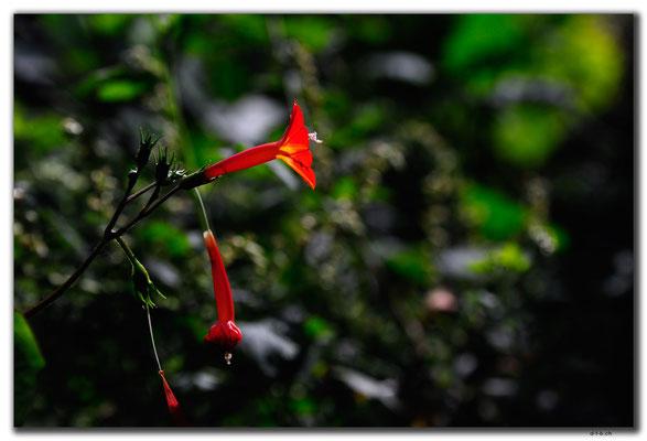 KR0130.Blume