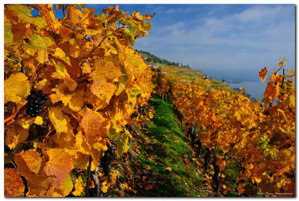 A0728.Chexbres Weinberge.CH