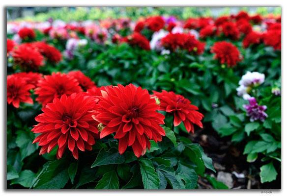 MO0039.Taipa.Blume im Garten