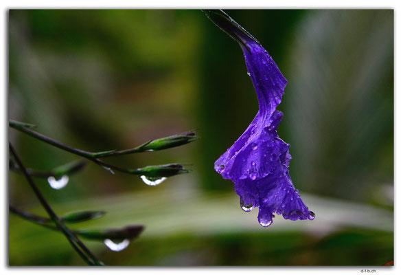 ID0091.Tegallalang.Blume