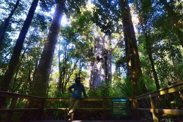 Neuseeland.Te Matua Ngahere. 2nd largest Kauri