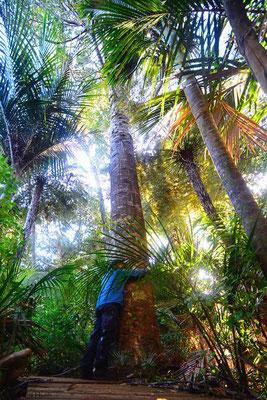 Neuseeland.Waipoua. Kauri Baum umarmen