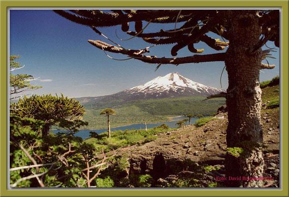 82.Araucaria und Vulkan LlaimaP.N.Conguillio,Chile