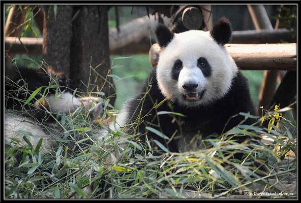 C0737Panda Zoo Chengdu