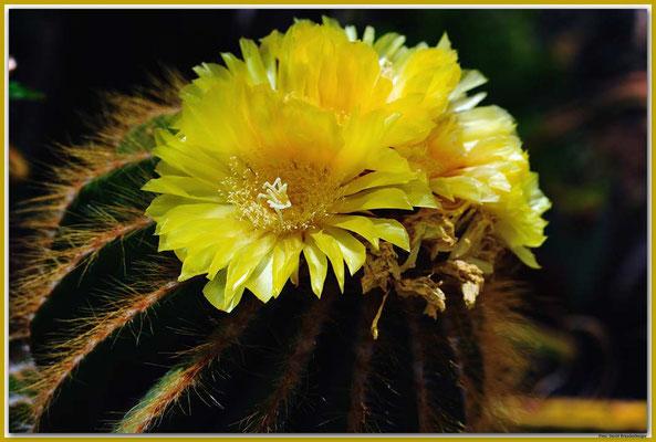 LAN008 San Bartholomé Kaktusblüte