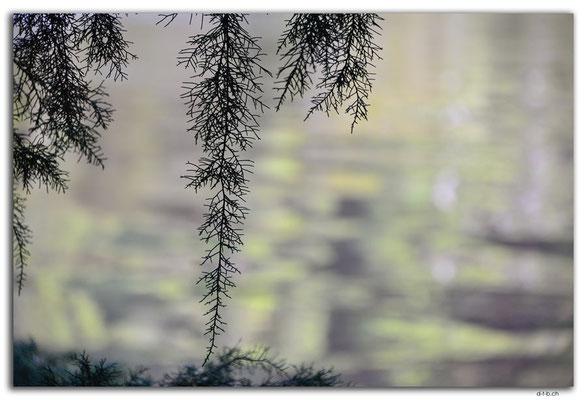 AU1437.Corinna.Huon Pine