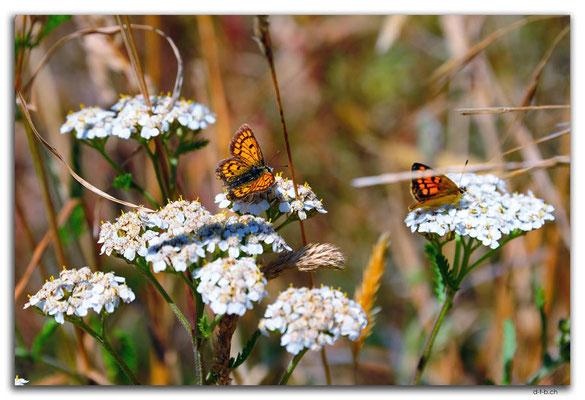 NZ0725.Christchurch.Schmetterlinge