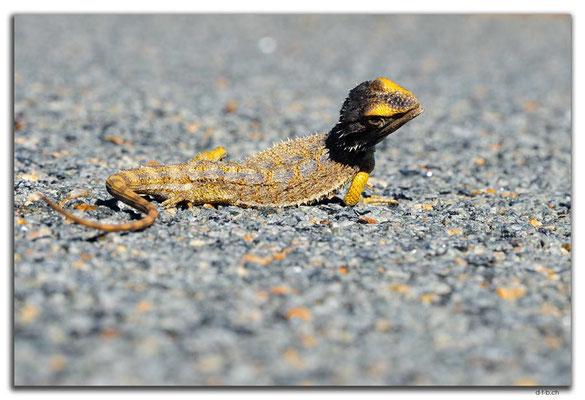 AU0462.Kalbarri N.P.Lizard