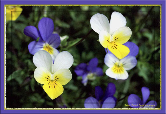 A0052,Langsporniges Veilchen (Viola calcarata)Falera.CH