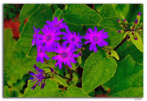 NZ0104.Kaipaia.Blume