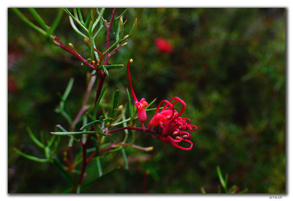 AU0708.Perth.Kings Park.Grevillea acropogon