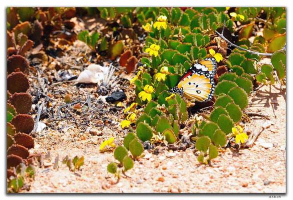 AU0941.Great Australian Bight.Schmetterling