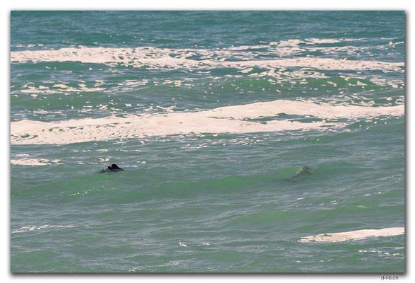 NZ0923.Curio Bay,Hector's Dolphins