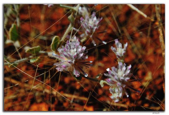 AU0344.Blume