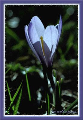 A0069 Violetter Krokus,Flims,CH