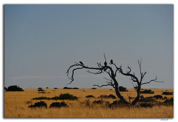 AU0948.Nullarbor N.P.Krähen auf Baum