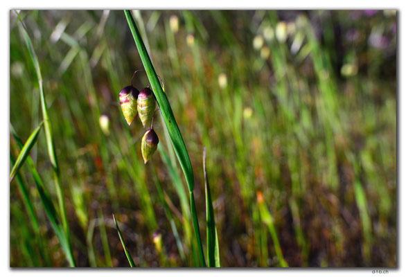 AU0505.Geraldton.Wildblume