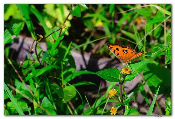 ID0077.Ubud.Schmetterling