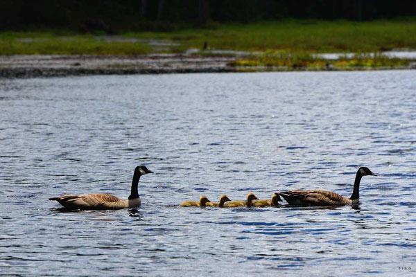 CA0484 Algonquin Park Amikeus Lake Canada Goose