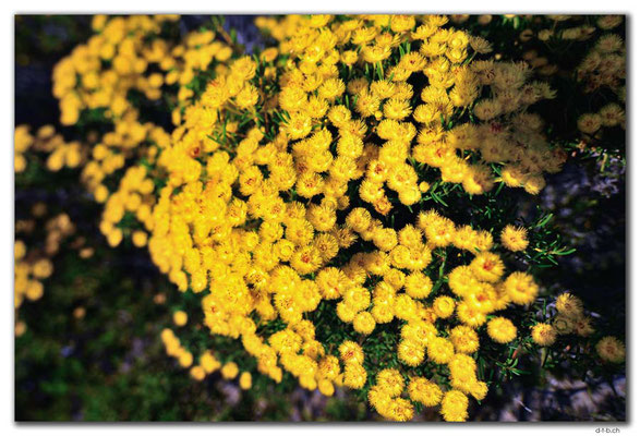 AU0508.Geraldton.Wildblume